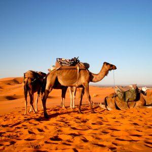 Voyage-organise-Maroc-desert-Chameau-Voyages-Del-Tour